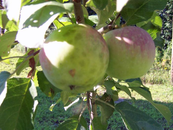 Garden_2013_apples