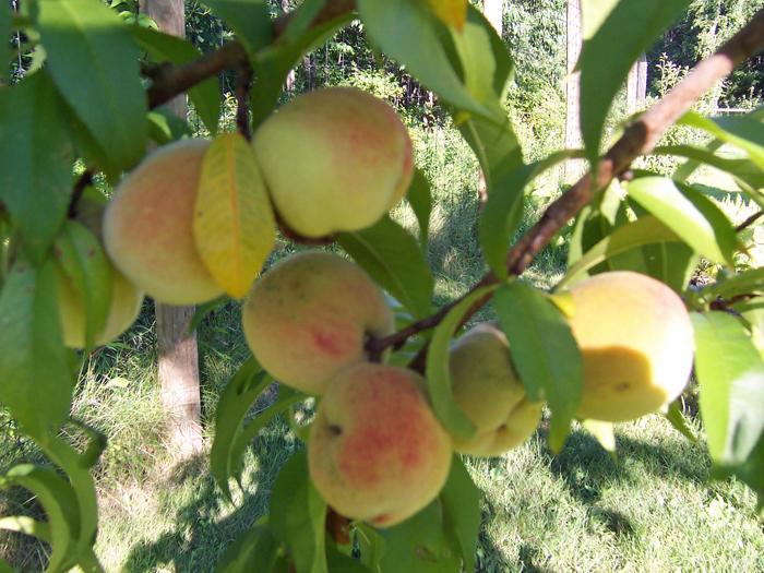 Garden_2013_peaches