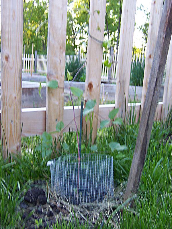 Garden_May13_clematis