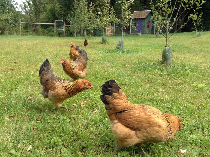 Chickena_8-14