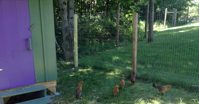 Chicks July 1
