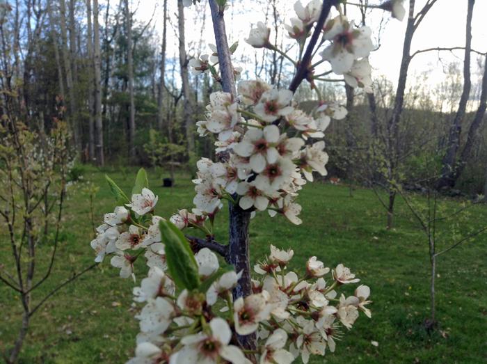 plum-blossom
