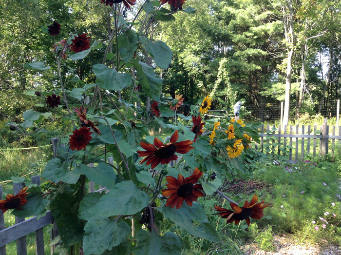 red-sunflowers